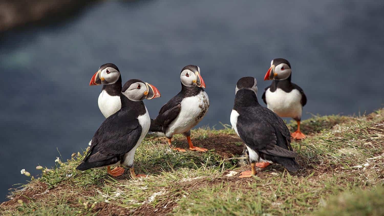 Атлантические тупики на острове Лунга в Шотландии
