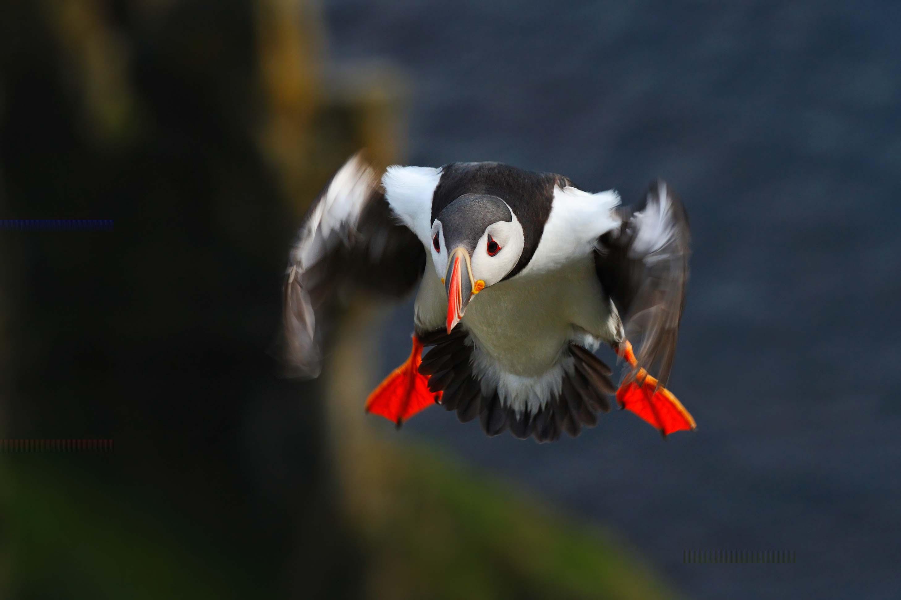 При посадке атлантические тупики довольно неуклюжи. Поэтому на острове Лунга они предпочитают селиться на высоких морских утёсах.