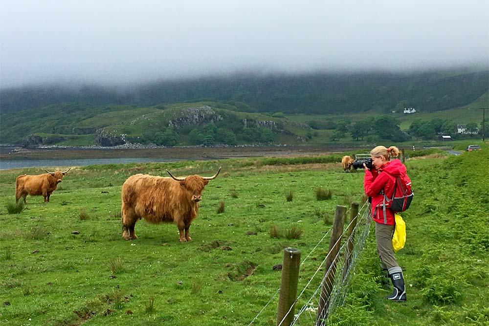 Хайлендские коровы на острове Улва